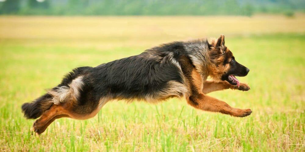 German Shepherd Hip Dysplasia Problems