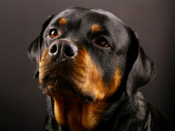 Rottweiler lifespan