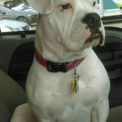 abigail bulldog deaf dog adopted march 2020