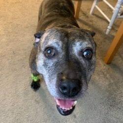 barkwiki pit bull rescue halifax humane society FL, Lucy, cute dog sep 2020