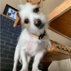 pikachu terrier mix july 2020 cute dog picture