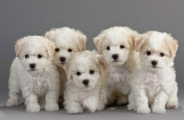 bichon puppies - bichon puppy