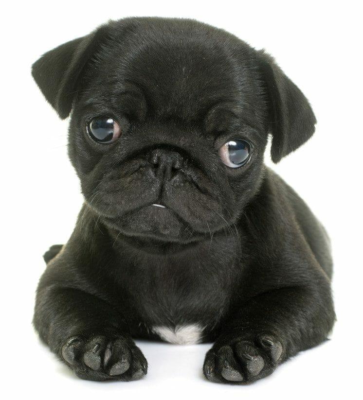 black pug - baby pug