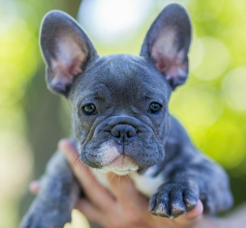blue french bulldog - lilac french bulldog