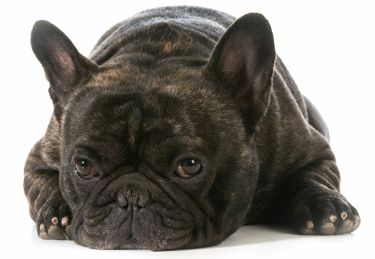 brindle french bulldog - types of french bulldogs