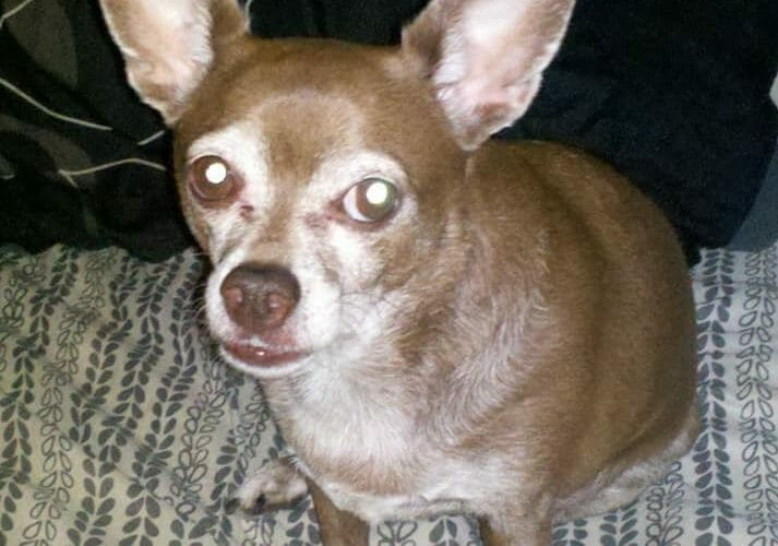 chihuahua rescued from the freezing cold coco barkwiki nov 2020
