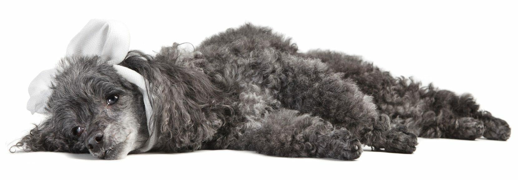 cushing disease dog behavior - cushing syndrome dog back legs