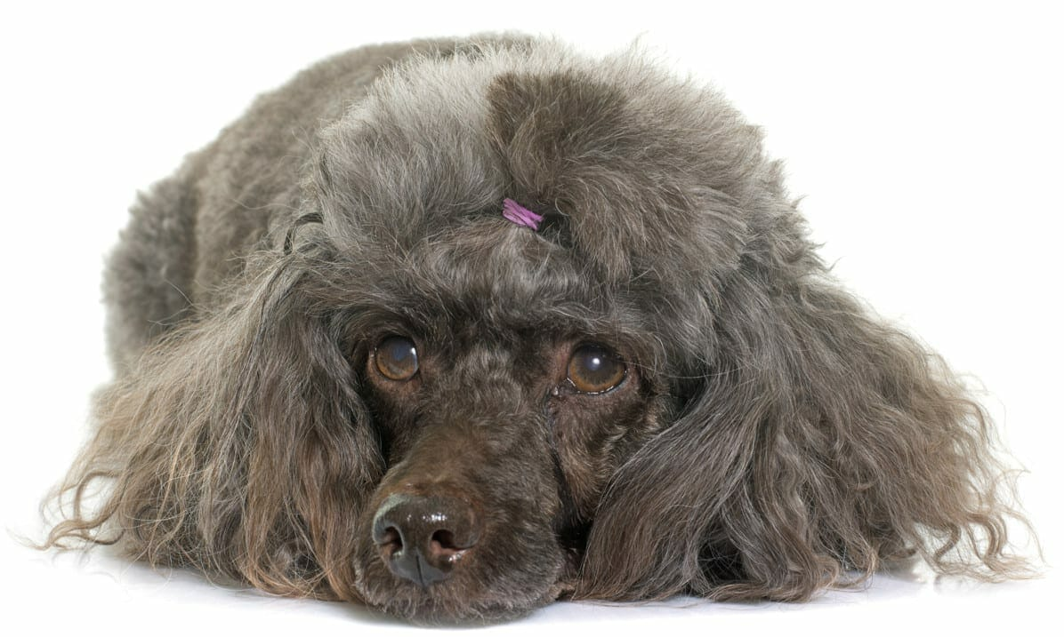 cushing syndrome in dogs - symptoms of dog dying from cushing's