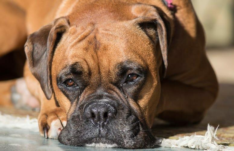 cushing's disease in dogs - cushings in dogs symptoms