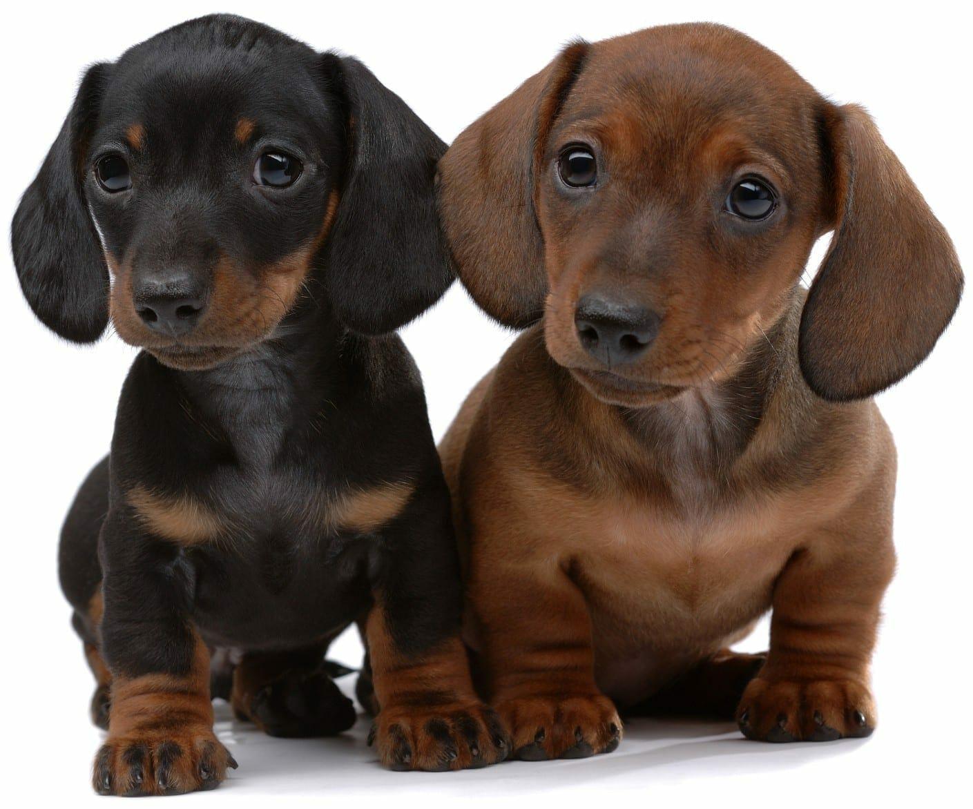 dachshund puppies - dachshund puppy