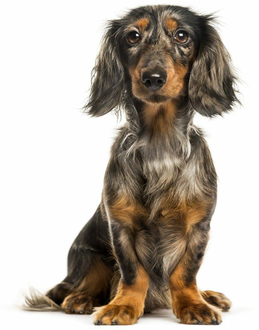 dapple dachshund - long haired dapple dachshund wiener dog