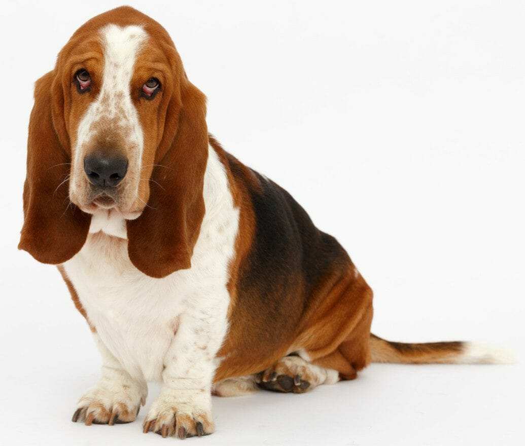 dog ear infection medicine - how to treat dog ear infection naturally