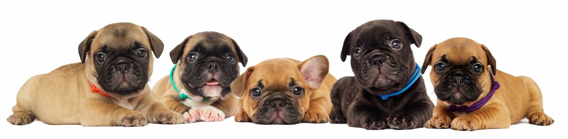 french bulldog puppies - french bulldog puppy