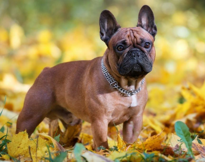 french bulldog rescue - long haired french bulldog