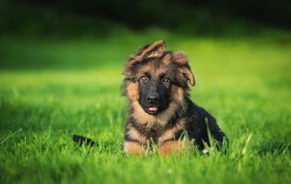 german shepherd characteristics