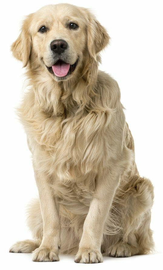 golden retriever dog - golden retriever price