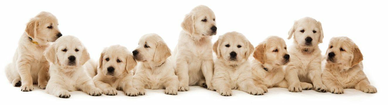 golden retriever puppies - golden retriever puppy