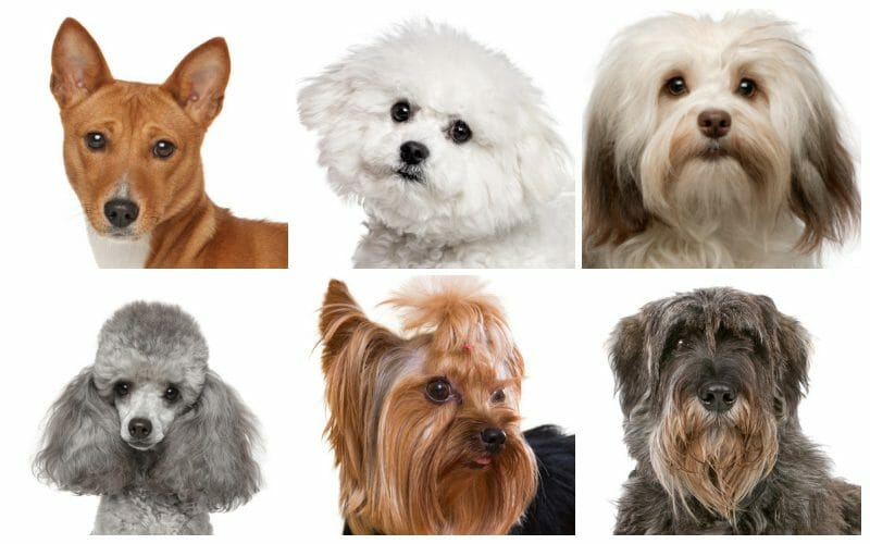 hypoallergenic dogs - hypoallergenic dogs breeds