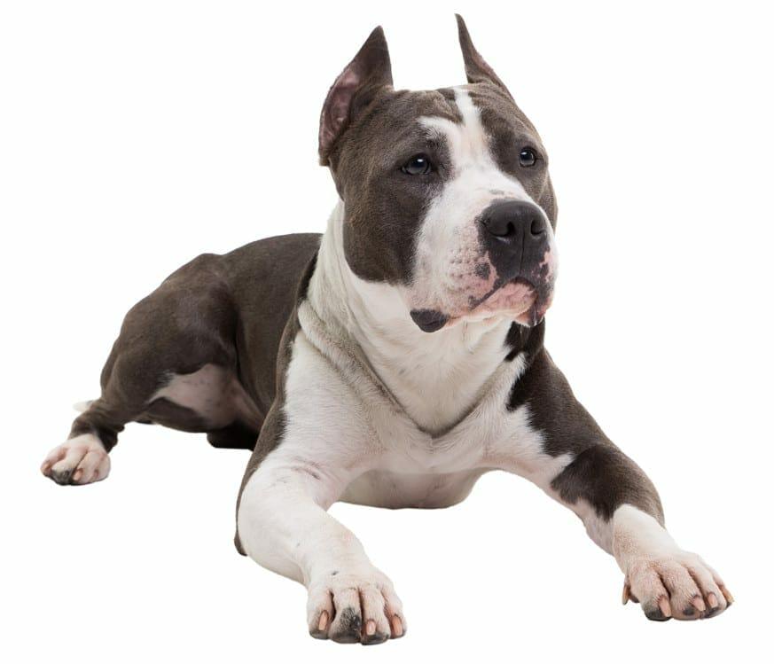 pitbull dog - pitbull