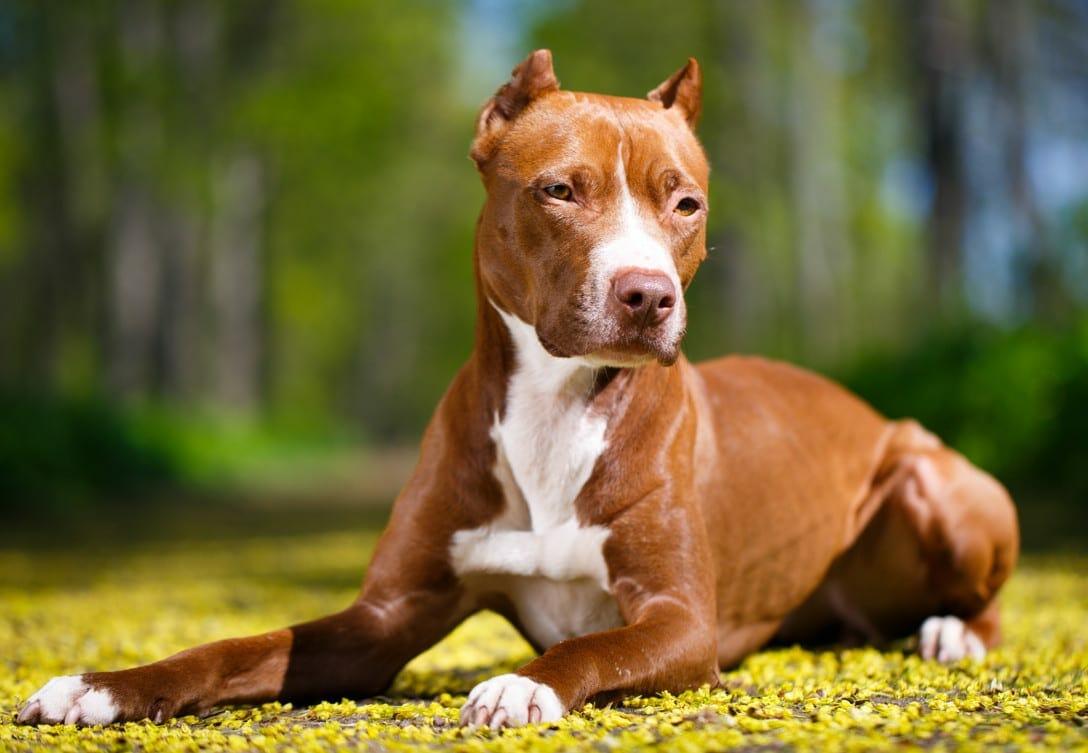 pitbull - red nose pitbull