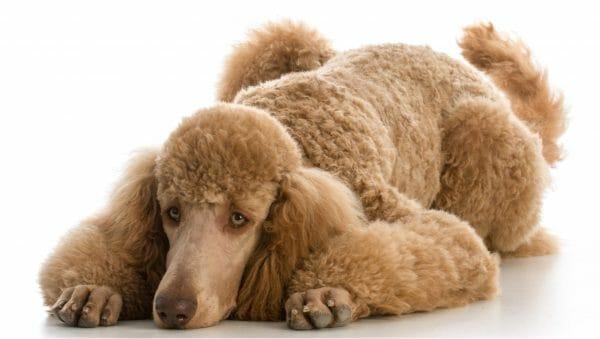 standard poodle lifespan