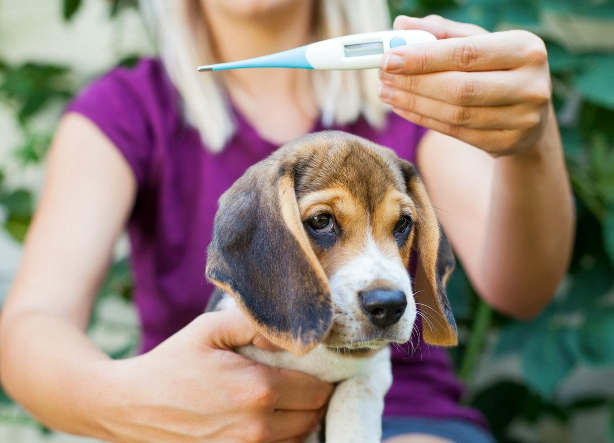 symptoms of lyme disease in dogs - lyme disease symptoms in dogs