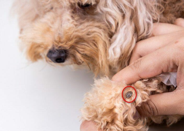 ticks on dogs - ticks on dogs