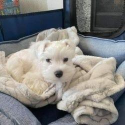 white schnauzer cute dog picture