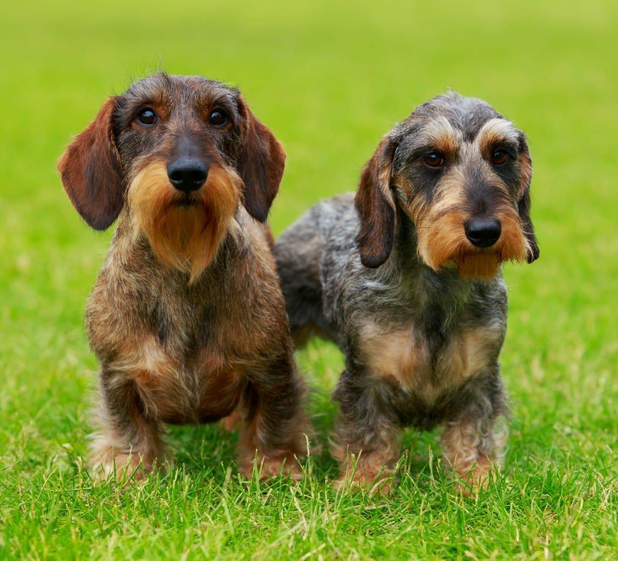 wire haired dachshund - mini wire puppy wiener dog