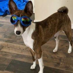 zoe basenji cute dog picture winner may 2020